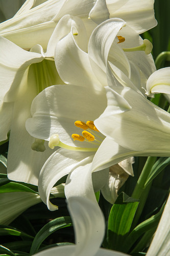 Lillies in Bellagio Indoor Garden