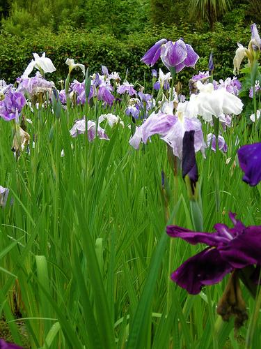 Iris at Mount Congreve