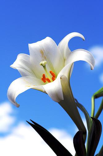 lily1.jpg