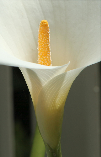 the cala lily that could : san francisco (2012)