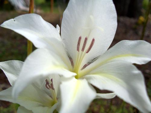 Lily or Gladiolus Hybrid