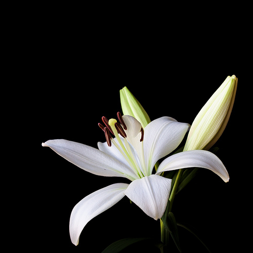 Lilium Bright Diamond