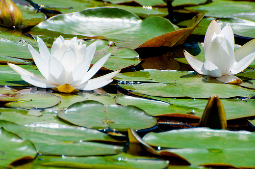 Water Lilly in Bloom