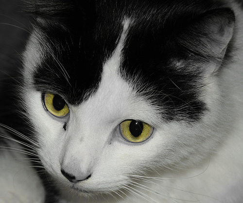 Louis the Black and White Cat