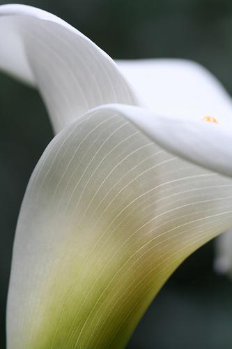 Flower Macros - Lily