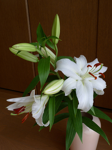 Siberian lily 2010/08/20