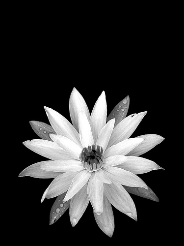 Water Lily (B/W)