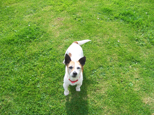 Pepper the jack russell