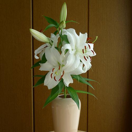 Siberian lily 2010/08/23