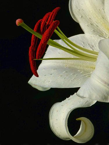 Casablanca Lily