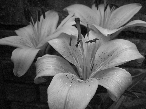 Lillies- black and white