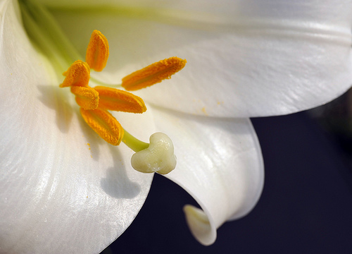 Easter Lilly