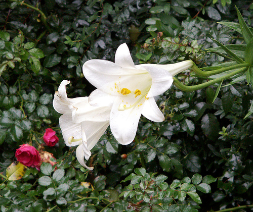 Autumn Easter Lillies