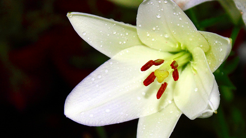 White Asiatic - just opening up...