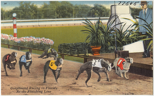 Greyhound racing in Florida at the finish line