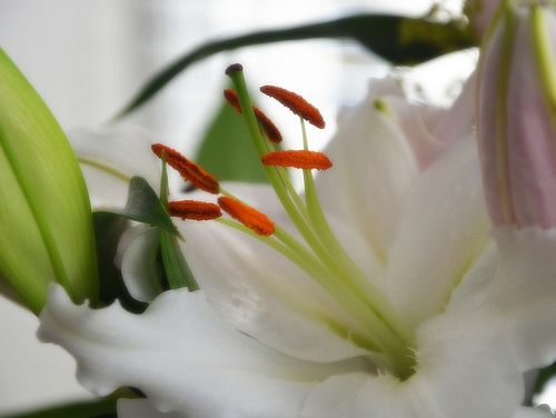 Lilies up close