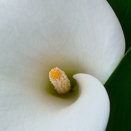Heart of the lily