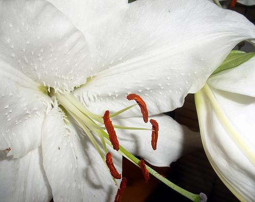 Earthquake Lily